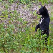 Neugierig stellt sich das Schwarzbärenjunge auf die Hinterbeine und beobachtet die Umgebung.