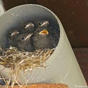 Wo bleibt das Futter??? Alle erwarten den nächsten Anflug der Altvögel mit hoffentlich viel Futter.