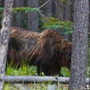 """Typisch Grizzly: der """"shoulder hump"""" hier ist durch die starke Schultermuskulatur bedingt und beim Schwarzbären nicht zu finden."""