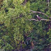 Ein Weißkopfseeadler sitzt am Ufer im Geäst.
