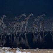 10 Giraffen am Wasserloch, ein Nashorn und ein frecher Schakal, der unbedingt mit auf´s Bild wollte