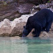 Eine andere Sichtung unserer Tour: Trinkender Schwarzbär