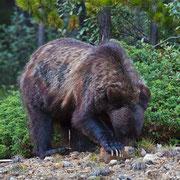 Wo er sich maniküren lässt, hat mir der Grizzly leider nicht verraten.