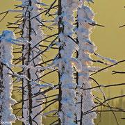 Detailaufnahme der schneeverkrusteten Bäume im diffusen Abendlicht.
