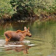 ... erst nachdem die Jungen den Fluss überquert haben und mit Mama-Elch im angrenzenden Wald verschwunden sind, setzen wir unseren Paddeltour fort.