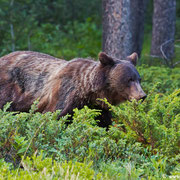 Geballte Power streift durch´s Unterholz: Ein Grizzly im Sunshine Valley.