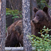 Blick zurück: Soll ich den Knipser mit seinem iPhone fressen? Glücklicherweise zog sich der Bär zurück und die Situation eskalierte nicht...