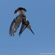 Ein Giant Kingfisher im Sturzflug auf Beutefang