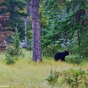 Mal was Neues: Die Bären besuchen uns auf dem Campground. Im Hintergrund sieht man Autos und Zelte anderer (nichtsahnender) Camper