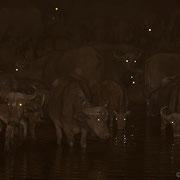 Eine Herde von über zweihundert Büffel kommt in der Nacht zum Trinken ans Wasserloch.