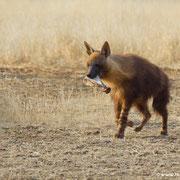 Eine braune Hyände mit einer leckeren Abendbrotzeit: wieder ein Knochen weg!