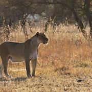 Alles im Blick: Wohin ziehen die Zebras? Ob sich ein Jagdversuch lohnt?