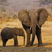 Im Abendlicht zeigen sich diese Elefanten von Ihrer schönsten Seite.