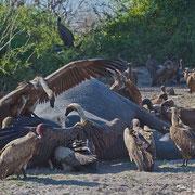 Geier-Versammlung am Elefanten-Kadaver; bei der Vielzahl an Elefanten ist es kein Wunder, dass man irgendwann auf einen toten Elefanten stößt...