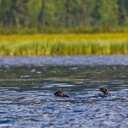 Die wendigen Fischotter vom schwankenden Kanadier aus zu photographieren, war eine Herausforderung.