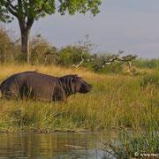 Sorgen immer für guten Sound: die Hippos am Ufer des Kwando