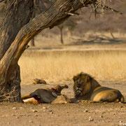 Das ist immer der erste Schritt: die großen Raubtiere suchen sich ein Opfer. Im Kgalagadi-NP mussten sehr häufig die Eland-Antilopen diese undankbare Rolle einnehmen...