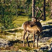 Im Nationalpark begegnet man wohl mehr Rentieren als Menschen!