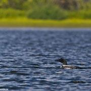Nur ein einziges Mal, konnte ich einen Loon photographieren. Die Fluchtdistanz ist bei diesen Tieren sehr groß.