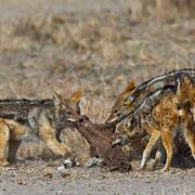 Während der Trockenzeit ist das Überleben für viele Tierarten nicht einfach: Hier kämpfen die Schakale erbittert um ein altes vermodertes Fellstück und dabei wird auch vehement auf die Kontrahenten eingebissen!
