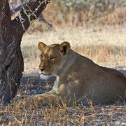 In der Ruhe liegt die Kraft... selten haben wir so große Löwen gesehen wie in der Nxai Pan