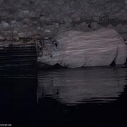 Rhino beim Baden: Bisher habe ich dieses Verhalten nur ein einziges Mal beobachten können, sonst nippen sie nur vorsichtig am Rand der Wasserstelle.  Ohne Teleblitzvorsatz wäre dieses Photo nicht möglich gewesen.