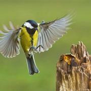 Eine Kohlmeise im Anflug! Dieser Spezies wird man am häufigsten begegnen.