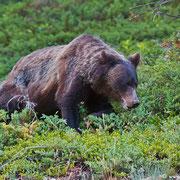Fast eine dreiviertel Stunde konnten wir den Grizzly auf Futtersuche beobachten.