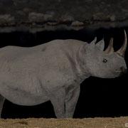 Rhino in seiner ganzen Pracht