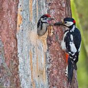 Das Männchen bringt das ersehnte Futter. Ist der Nachwuchs älter, warten sie nicht mehr brav in der Bruthöhle ...