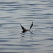 Fluss-Seeschwalbe bei der Jagd (Weinreich 2014)