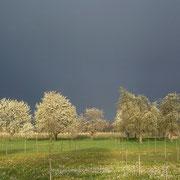 Die Kirsch-Hochstämme in der Blüte (Foto: Edwin Strobel 2013)