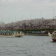 隅田川の両岸に咲く桜