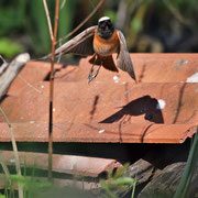 Gartenrotschwanz Männchen