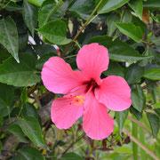 Hibiskusblüten sind überall zu finden