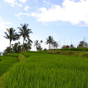 Die Reisfelder