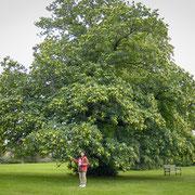 栗の木…大きすぎます w