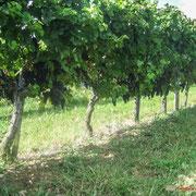 Vignoble des Côtes de Bordeaux. Château Roquebrune, Cénac, 2 octobre 2007