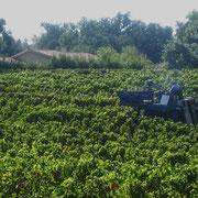 Machine à vendanger, en cours de ramassage dans le vignoble du Château Roquebrune, Cénac, 2 octobre 2007