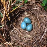 Braunkehlchen-Nest (c) Heinz Tuschl/LBV-Archiv