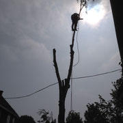 démontage d'un bouleau à Bruxelles dans les câbles