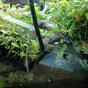水中フィルターにエアーチューブをつけて侘び草に水をかけてます