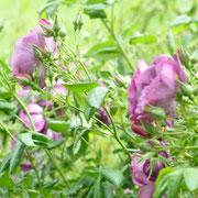 rhs hyde hall rose