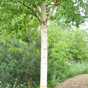 rhs hyde hall betula
