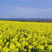 滝川市 江部乙町の菜の花畑