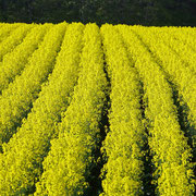 滝川市 江別町の菜の花畑
