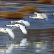 千歳市-大学沼の白鳥