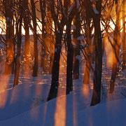 防風林の光芒