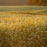 夕暮れ 色を変えるソバ畑