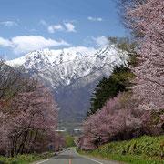山部を通る国道38号線の桜